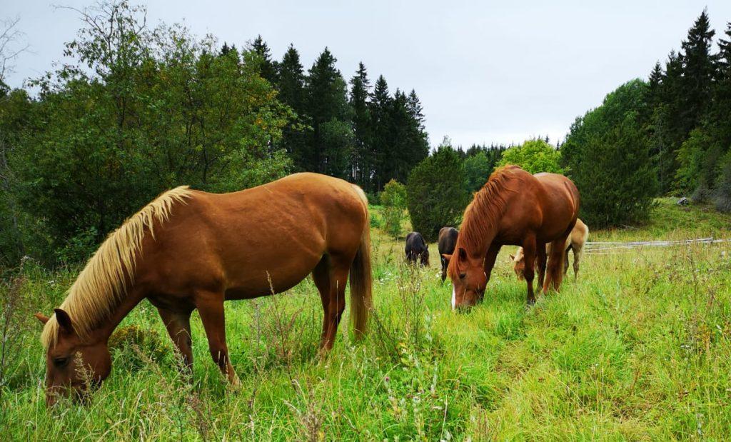 hevosia metsaisella laitumella