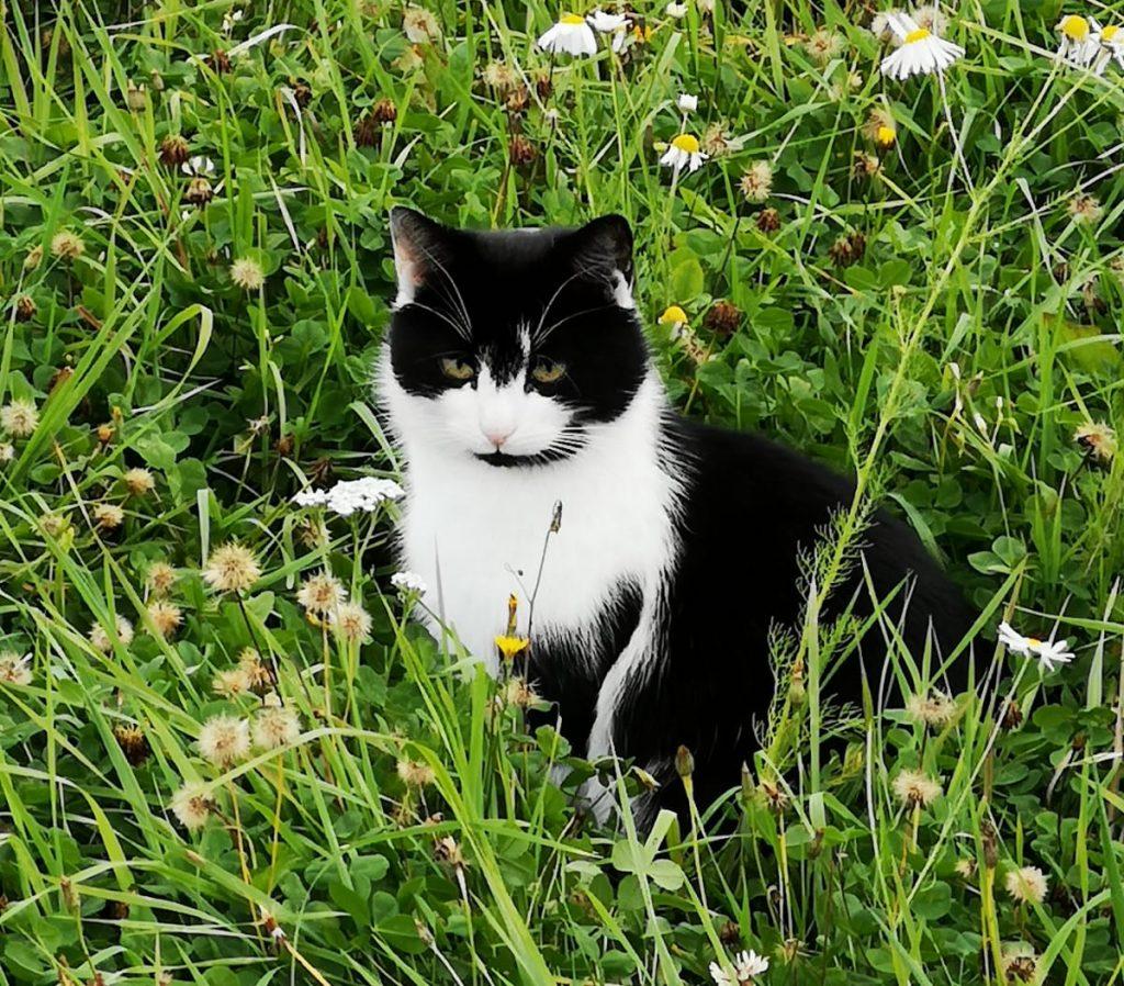 mustavalkoinen kissa ruohikossa tarkka katse