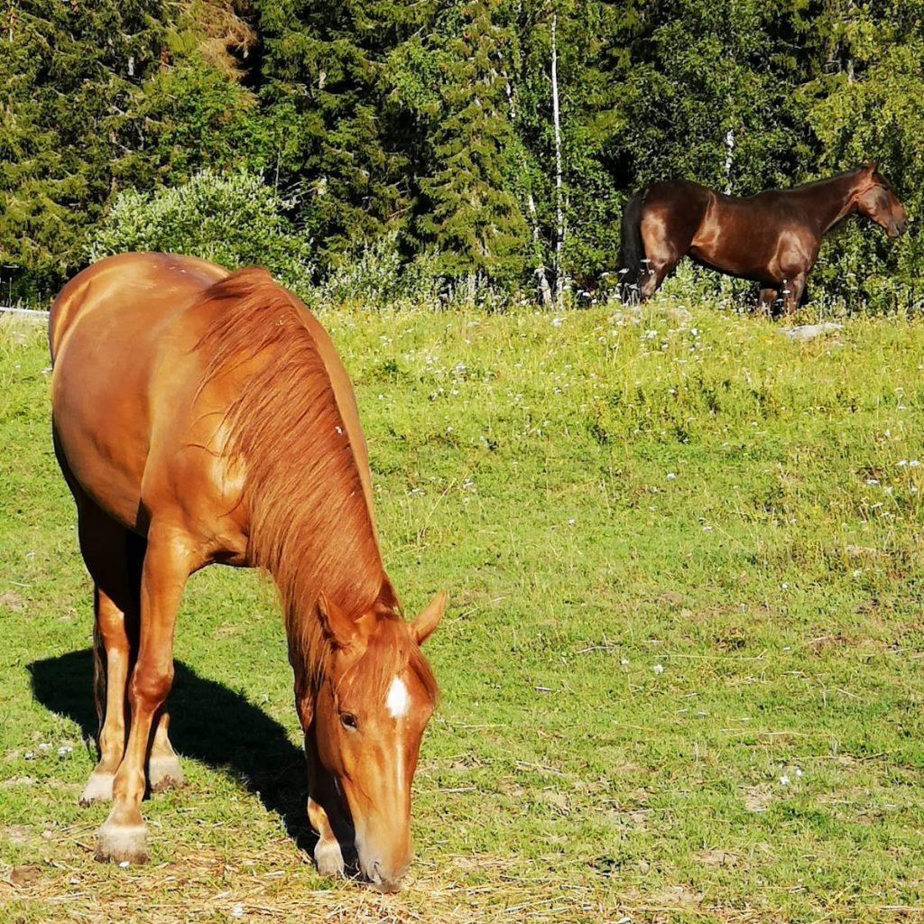 suomenhevostamma laitumella tumma hevonen taustalla